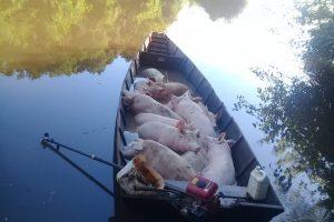 Senasa ordenó la faena sanitaria porcinos trasladados sin documentaciónsanitaria en Misiones