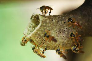 Yateí: la abeja nativa que cura, alimenta y conserva el ambiente