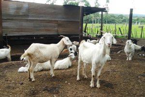 En la provincia, implantan pasturas para la producción ovina y caprina