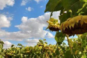 Lanzan híbrido de girasol con genes de resistencia a herbicidas