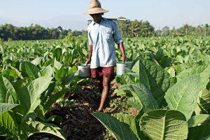 Pagan a tabacaleros misioneros más de dos millones de pesos