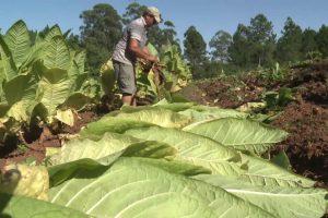 Tabaco: Passalacqua anunció que este viernes se abonarán más de 860 millones por Caja Verde