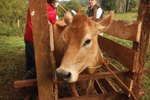 Misiones: 163 tambos familiares recibieron el certificado de libre de brucelosis