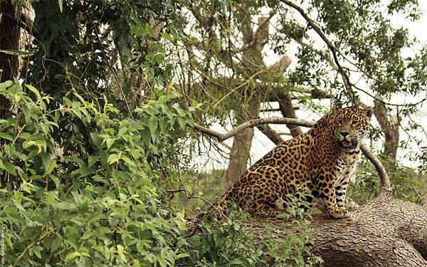 Buscan involucrar a la sociedad misionera en la protección del yaguareté