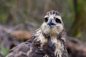 Un juvenil de águila negra fue liberado en la Reserva Santa María