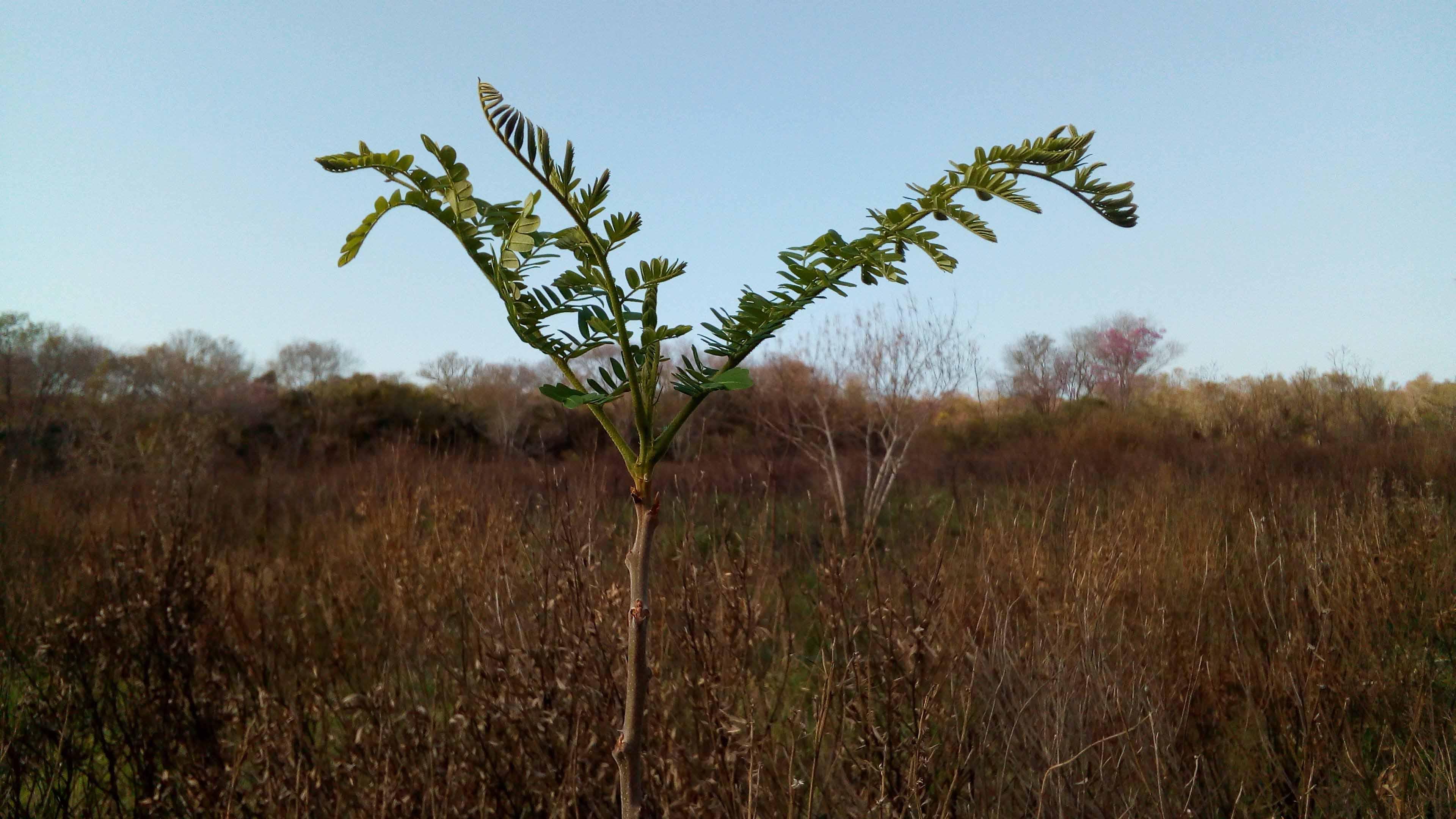 Yvyrá-pytá, un árbol con potencial para la restauración de bosques nativos