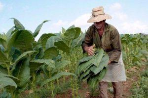 Preocupación en el sector tabacalero por falta de pago de Asignaciones Universales por Hijo