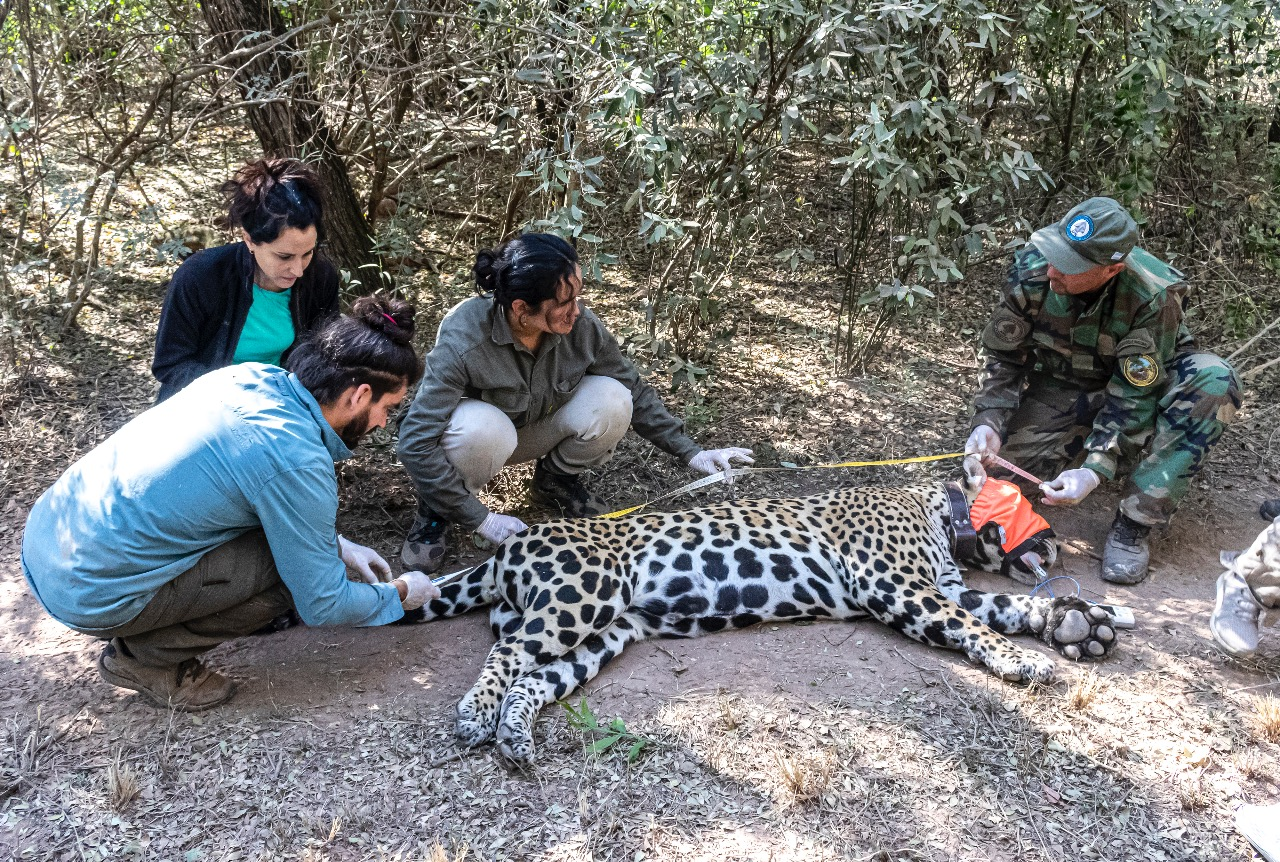 Capturaron para monitoreo a un yaguareté en el Parque Nacional El Impenetrable