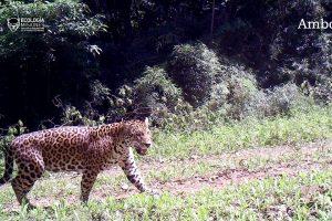 Con un nuevo yaguareté aumenta la población en Salto Encantado, en convivencia con ganaderos