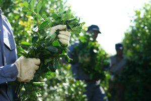 En INYM brindó recomendaciones para la cosecha, acopio y secanza de yerba mate