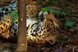 Día Mundial del gran felino americano, el Yaguareté