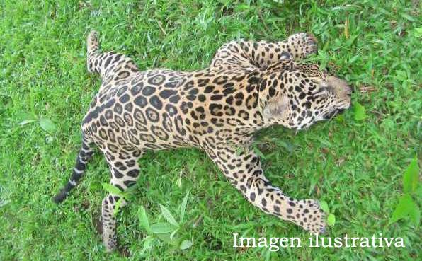 Yaguareté cazada en Arauco: reclaman celeridad judicial