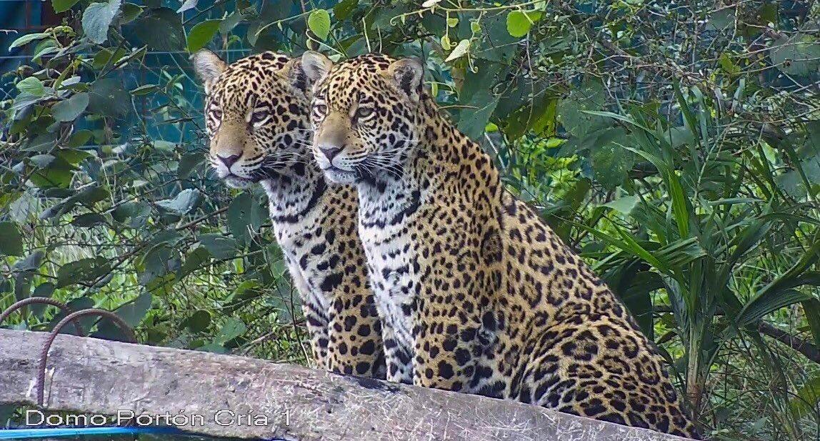 Cinco yaguaretés vivirán en «libertad vigilada» para refundar su población silvestre en Corrientes