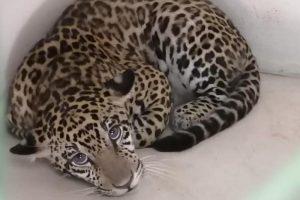 Xena, la esperanza para la reproducción de yaguaretés en Paraguay