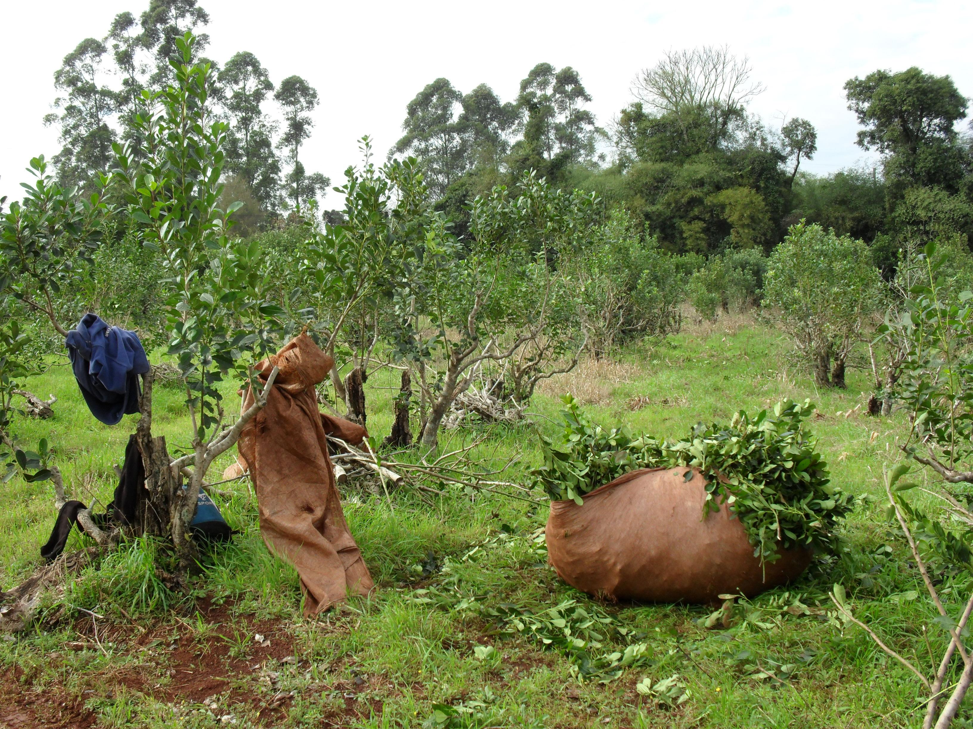 Yerba Mate: está abierto el registro de «prestadores de servicio de cosecha»