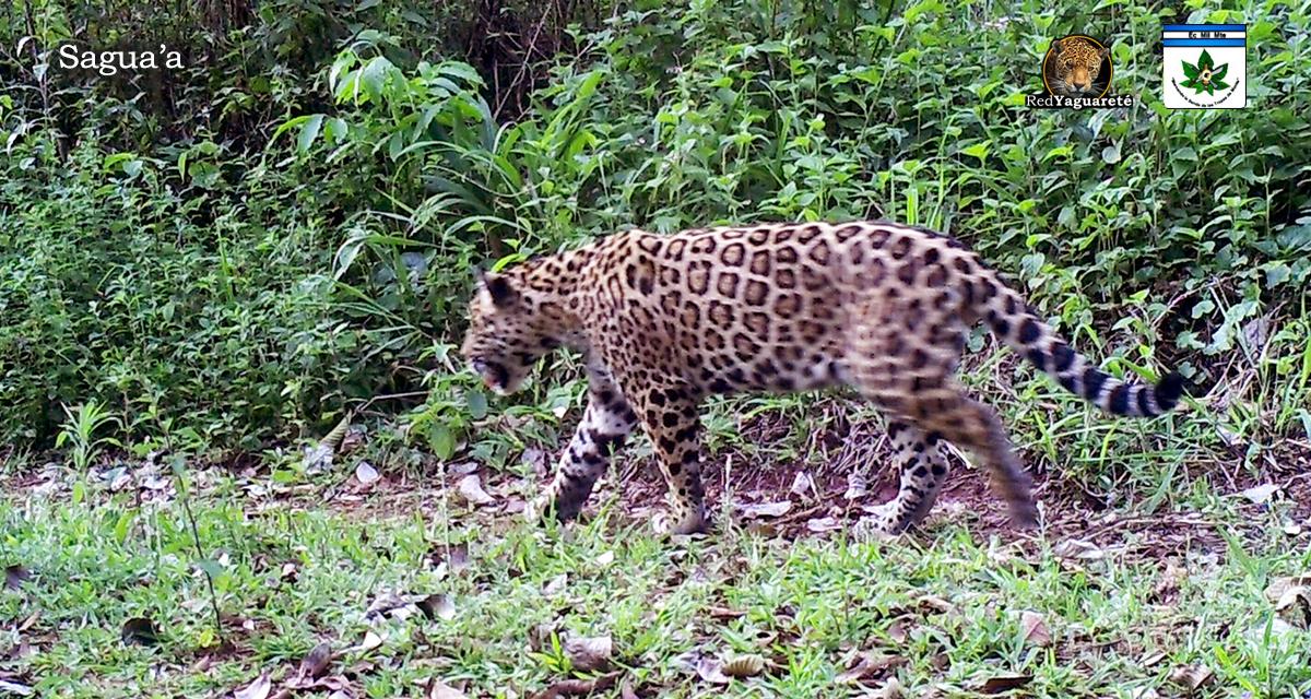 Sagua´a  es el apodo del nuevo yaguareté registrado en el predio militar de Iguazú