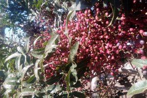 Pistacho: un paso más para obtener semillas híbridas en la Argentina